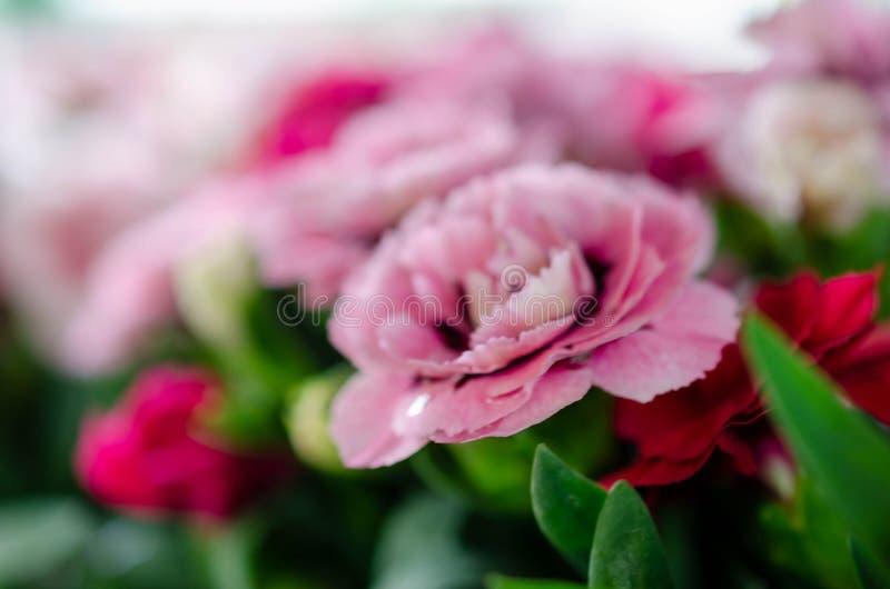 柔和的桃红色康乃馨花宏指令 免版税库存图片