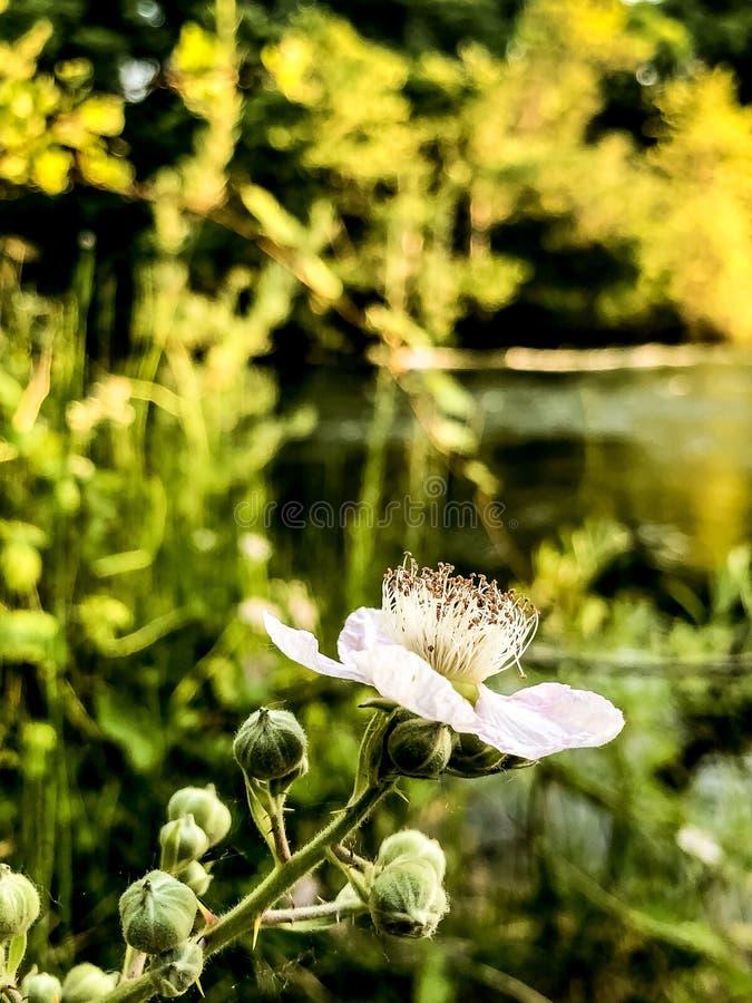 柔和的白色毛茸的花迷离 库存图片