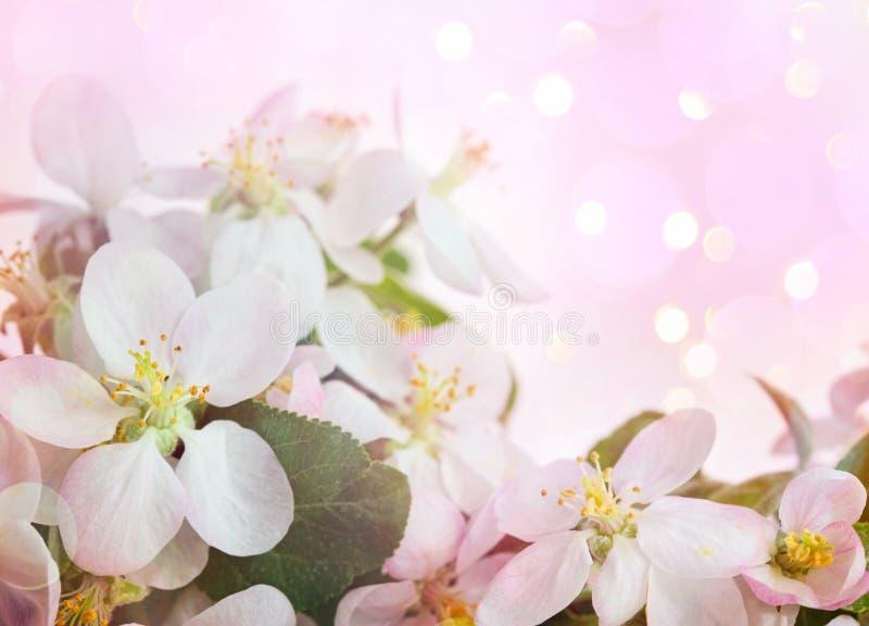 柔和的粉红背景中的苹果花 免版税库存图片