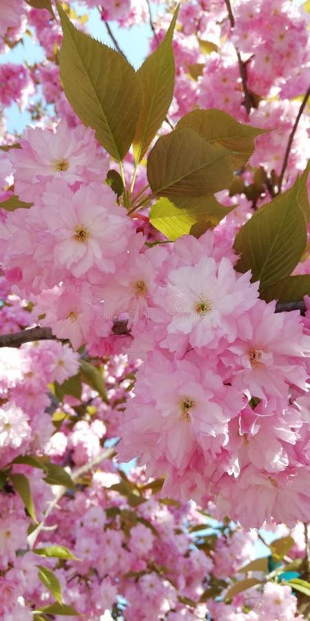 柔和的背景 开花的杏仁 桃红色花美丽的群 免版税库存照片