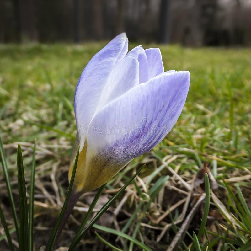 柔和的蓝色以一棵被弄脏的草为背景的春天番红花蓝色珍珠特写镜头  免版税图库摄影