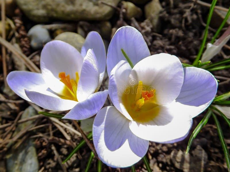 柔和的蓝色以一棵被弄脏的草为背景的春天番红花蓝色珍珠特写镜头  免版税库存图片