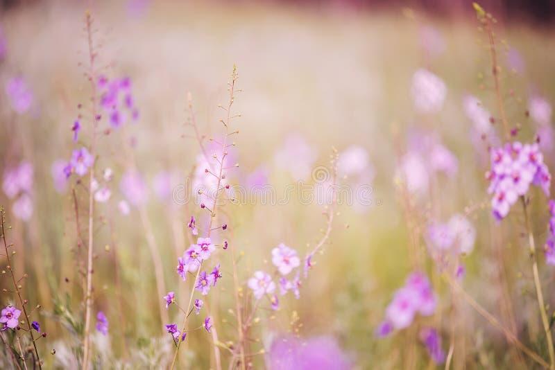 柔和的野生兰花草甸淡紫色花  春天花的软的精美颜色 免版税库存照片