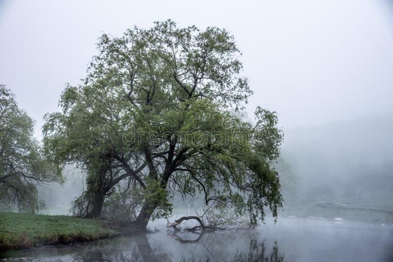 柔和的雾滚动马萨诸塞池塘并且掠过倾斜往水的一棵大树的叶子 免版税图库摄影