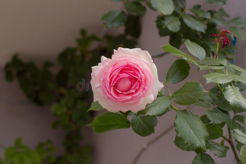 柔和迷住桃红色玫瑰 灰色后面 免版税库存图片