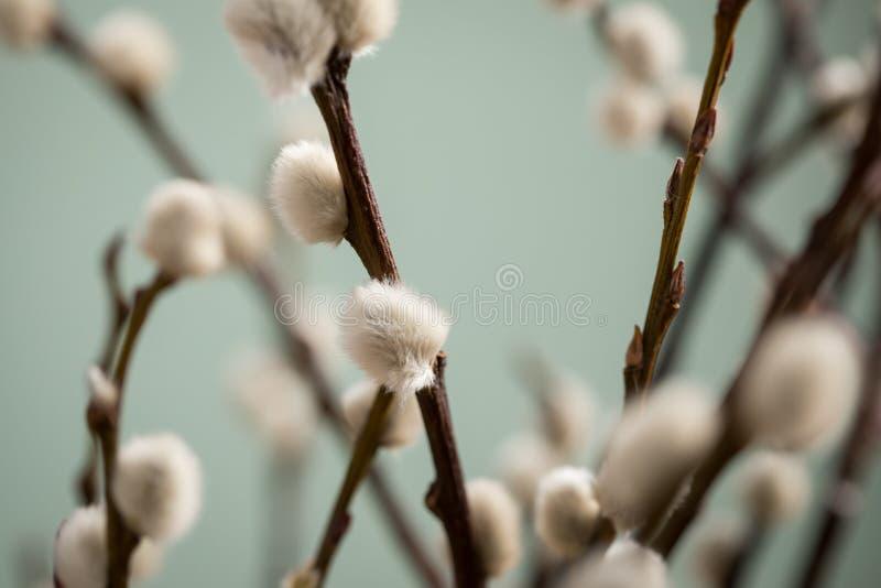 柔荑花在灌木树的褪色柳枝杈在极小的绿色背景的公园 免版税库存照片
