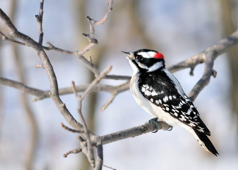柔软的啄木鸟 图库摄影