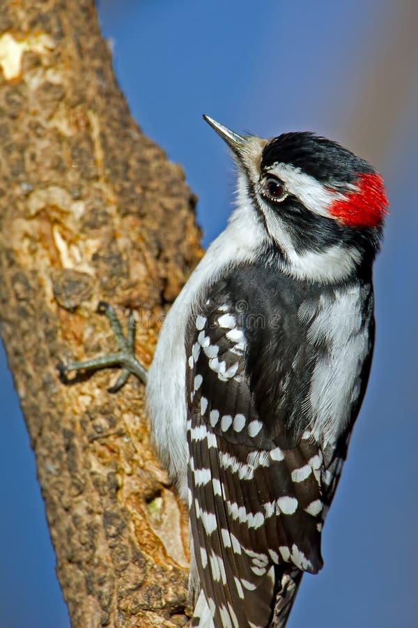 柔软的啄木鸟 免版税库存图片