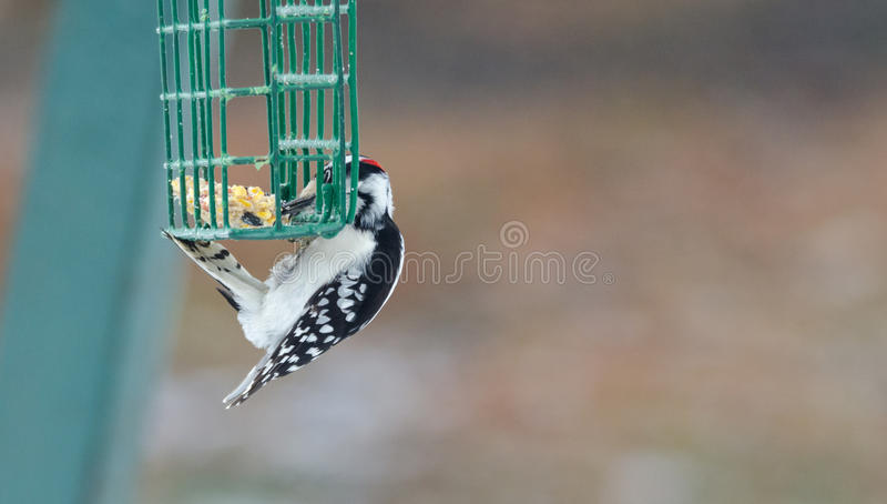 柔软的啄木鸟- Picoides pubescens -在饲养者笼子垂悬并且有吃的啃 免版税库存图片