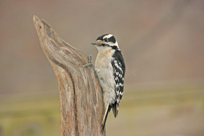 柔软的啄木鸟(Picoides pubescens) 库存图片