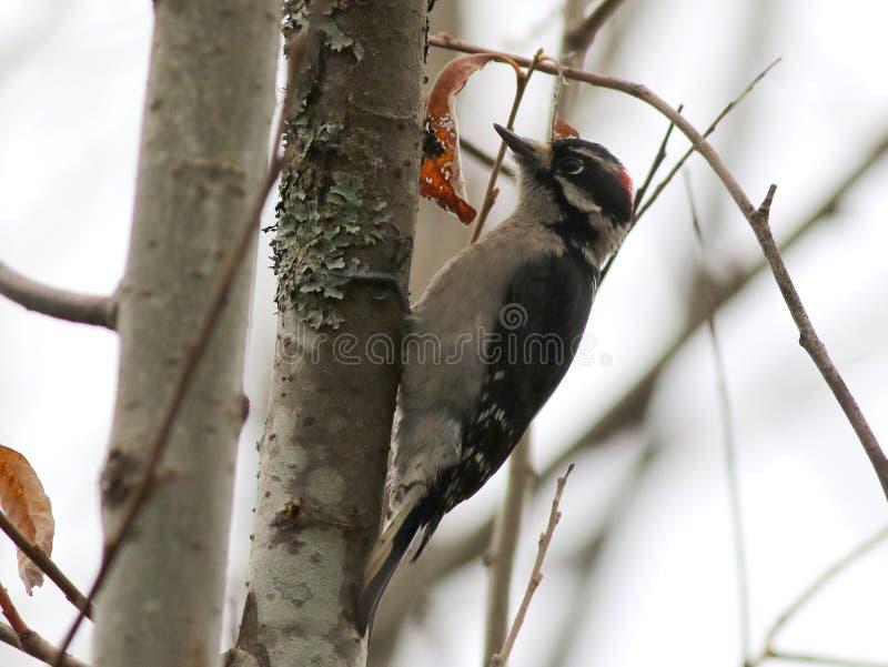 柔软的啄木鸟- Picoides pubescens 免版税库存图片
