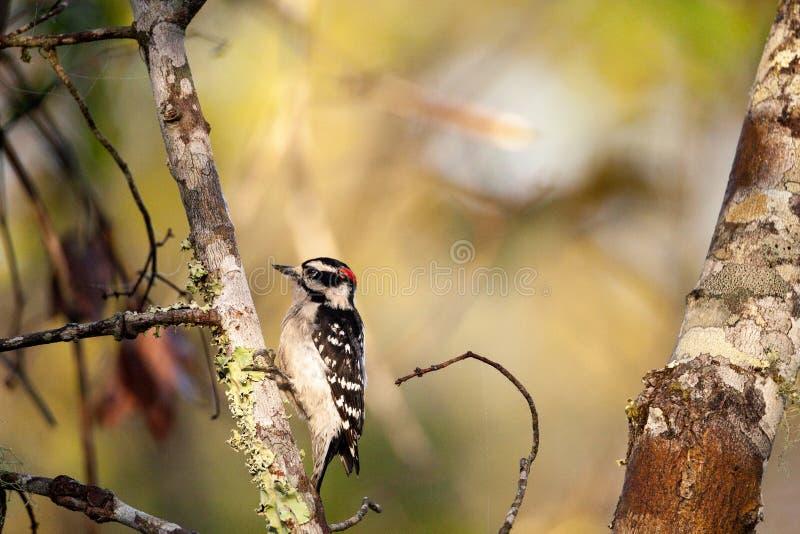 柔软的啄木鸟Picoides pubescens在树栖息 免版税库存照片