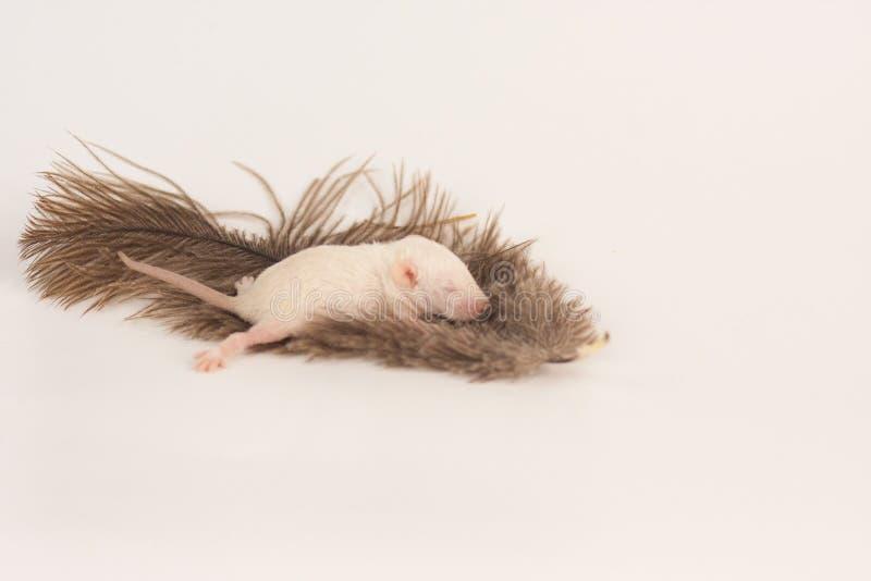 柔软的概念 鼠在羽毛说谎 库存照片