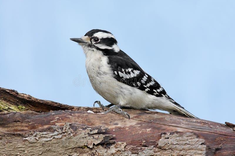 柔软的母picoides pubescens啄木鸟 免版税库存照片