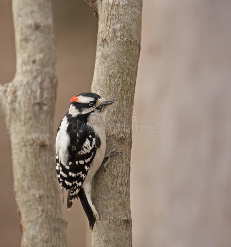 柔软的picoides pubescens啄木鸟 库存图片
