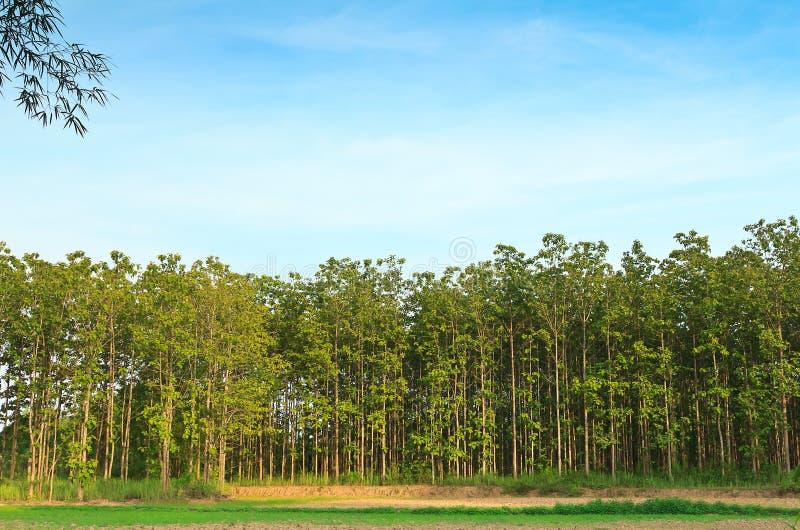 柚木树树。 免版税图库摄影