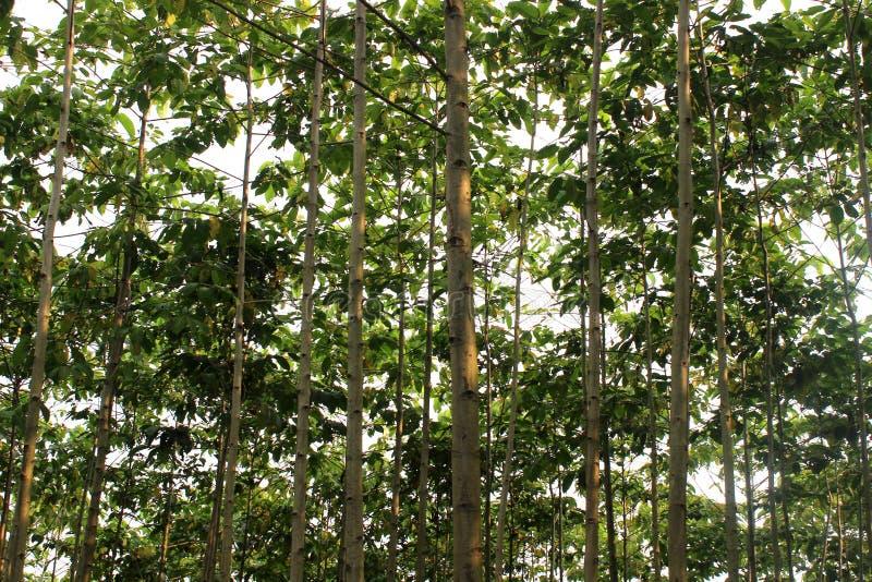 柚木树树 免版税库存照片