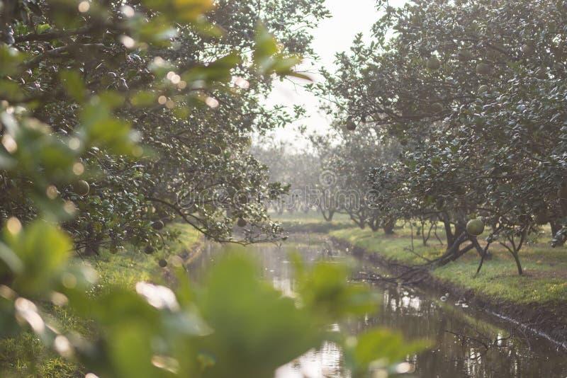 柚石榴在泰国 免版税库存照片