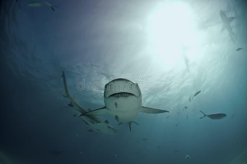 柠檬古怪的鲨鱼 免版税图库摄影