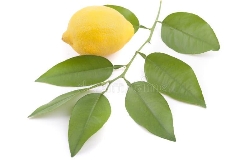 柠檬和柠檬树枝杈 库存照片