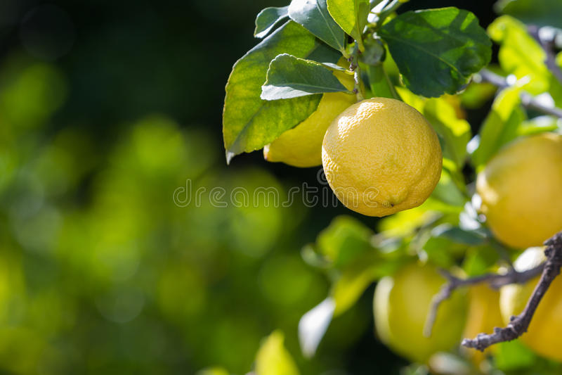 柠檬在加利福尼亚 库存照片