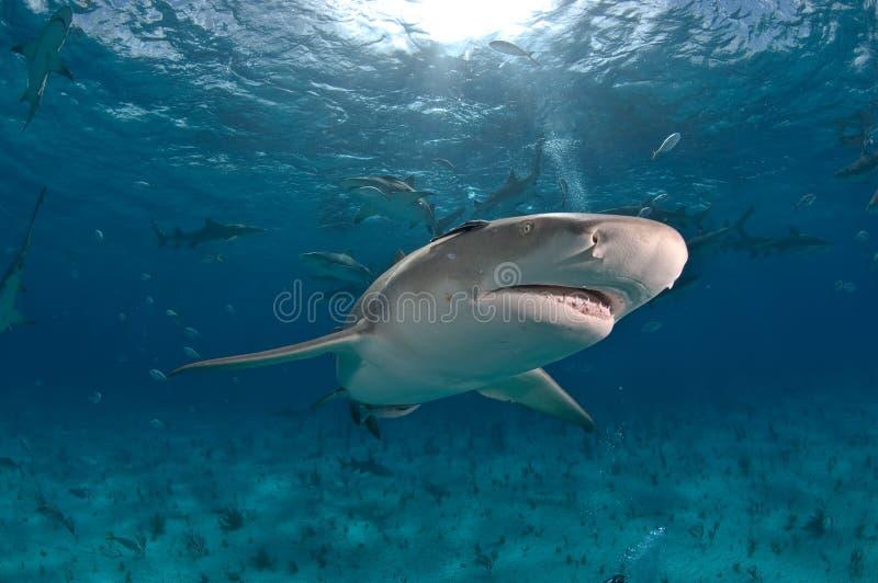 柠檬孤立鲨鱼 免版税图库摄影