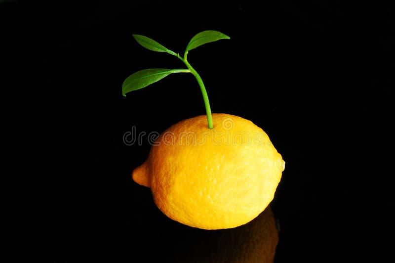 柠檬新芽 免版税图库摄影