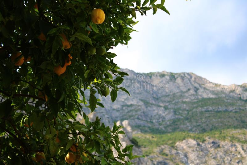 柠檬树用在Limone sul加尔达的柠檬与山在背景中 免版税图库摄影