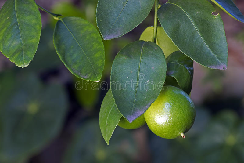 柠檬树用果子 免版税库存图片