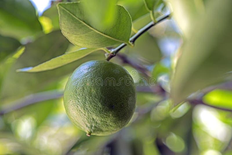 柠檬树用果子 库存图片