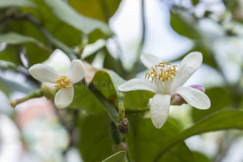 柠檬树白花  与白花的柠檬绽放 庭院柠檬在春天开了花 免版税库存照片