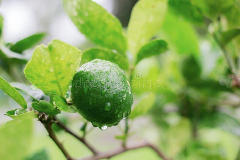 柠檬湿在树 免版税库存照片