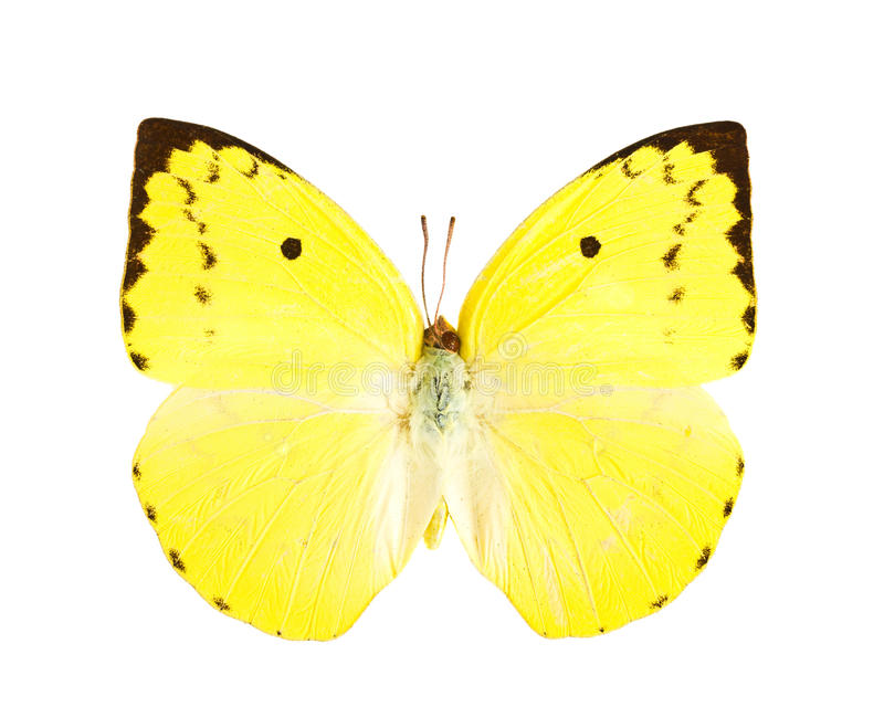柠檬移居蝴蝶(Catopsilia波诺马)。 免版税库存照片