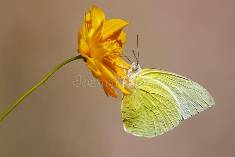 柠檬移居蝴蝶Catopsilia波诺马的图象从在自然本底的花吮花蜜 ?? ?? 库存照片