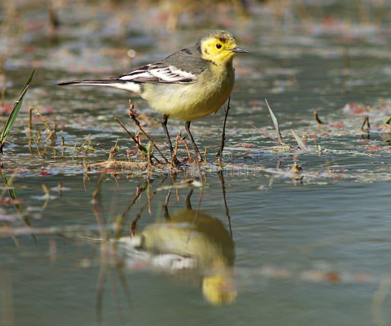 柠檬色令科之鸟, Citroenkwikstaart, Motacilla citreola 免版税图库摄影