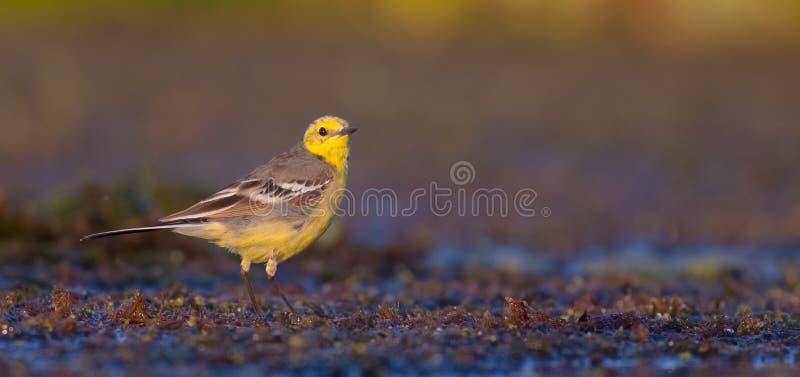 柠檬色令科之鸟- Motacilla citreola -男性 免版税图库摄影
