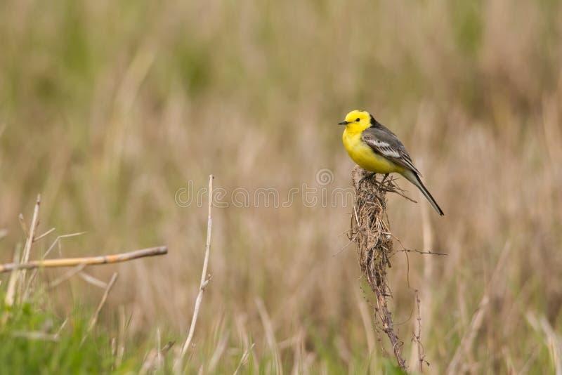 柠檬色令科之鸟 免版税图库摄影