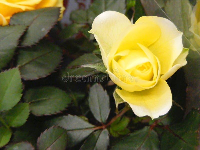 柠檬颜色黄色玫瑰在神秘园,与copyspace的背景里 免版税库存图片