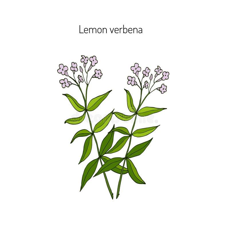 柠檬马鞭草属植物 库存例证