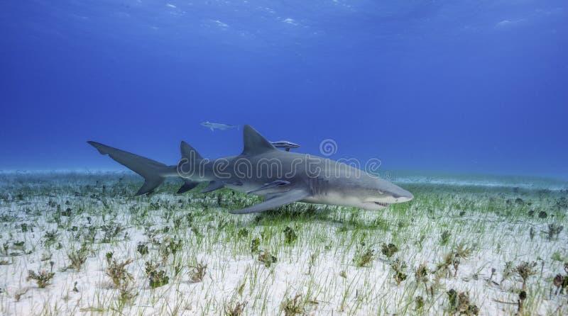 柠檬鲨鱼大巴哈马岛,巴哈马 免版税库存照片