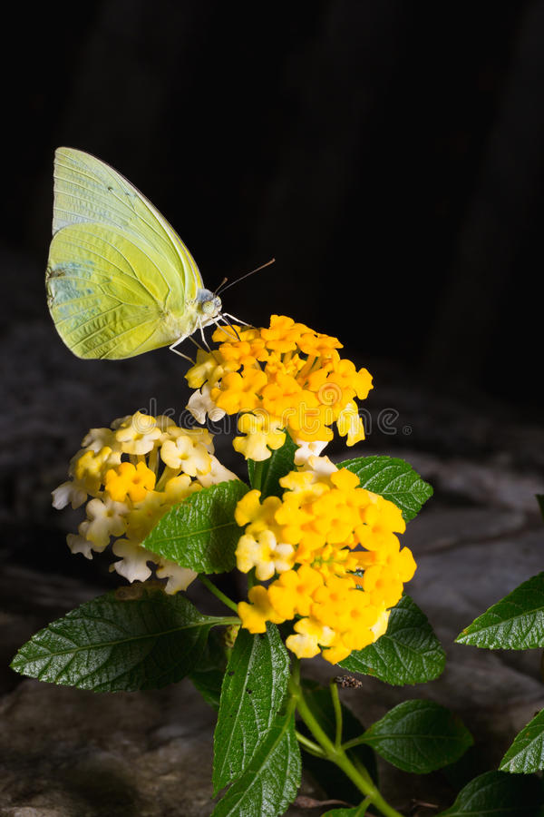 柠檬移出境者,在精采lanta的Catopsilia波诺马蝴蝶 库存图片