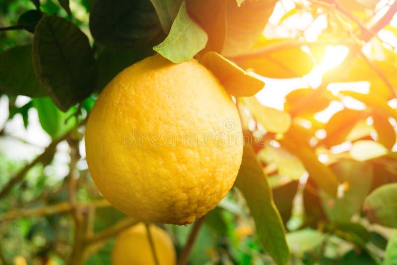 柠檬 垂悬在树的成熟柠檬 库存照片