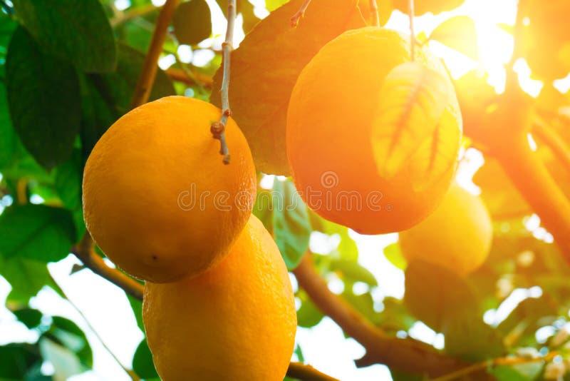 柠檬 垂悬在树的成熟柠檬 免版税库存图片