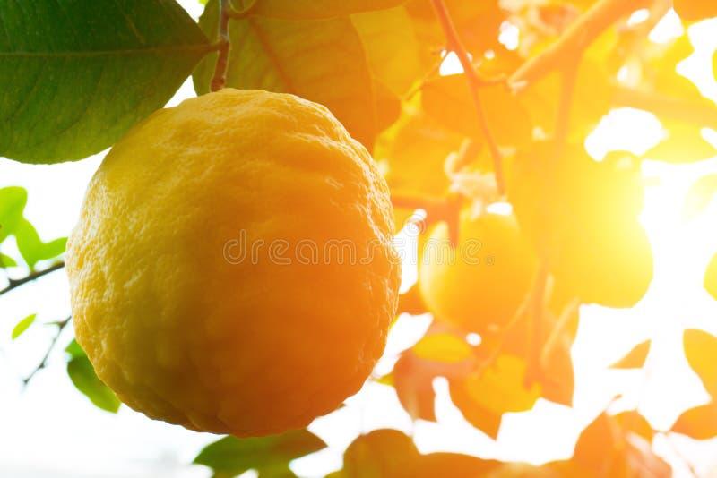 柠檬 垂悬在树的成熟柠檬 库存图片
