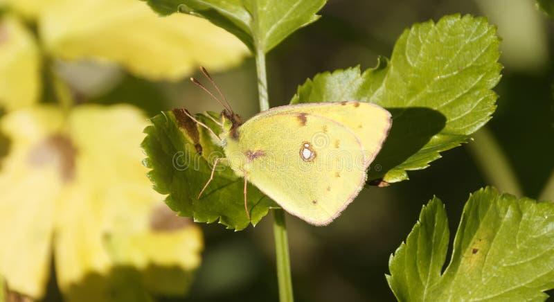 柠檬移居蝴蝶本质上 库存图片