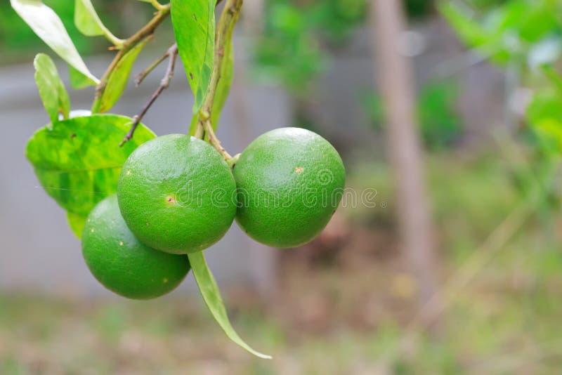 Download 柠檬 库存图片. 图片 包括有 柠檬, 食物, 新鲜, 烹调, 柠檬香茅, 蔬菜, 绿色, 结构树, 收获 - 72353203