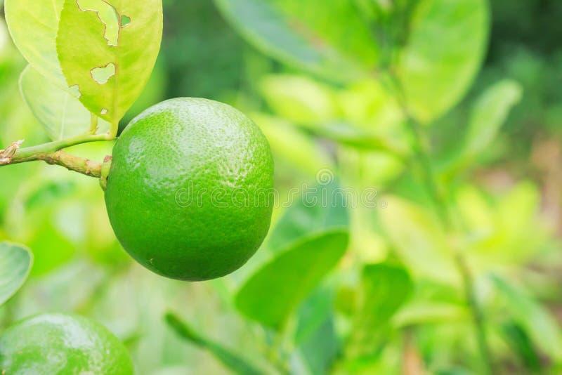 Download 柠檬 库存图片. 图片 包括有 柠檬, 烹调, 收获, 新鲜, 蔬菜, 结构树, 食物, 绿色, 柠檬香茅 - 72353509