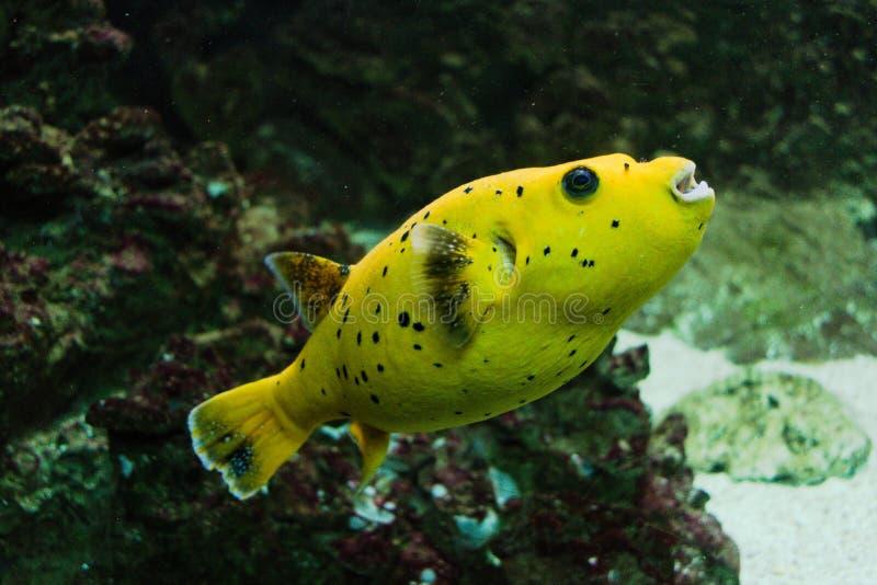 柠檬Arothron黄色鱼 库存图片