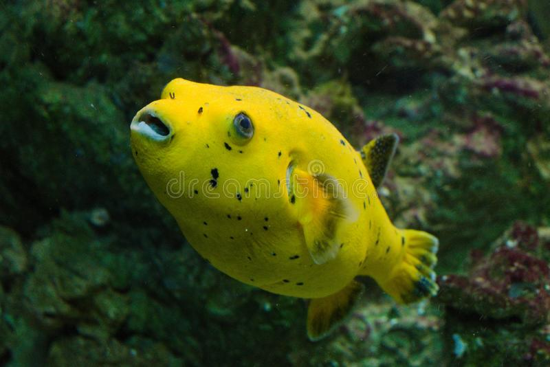 柠檬Arothron黄色鱼 免版税库存图片