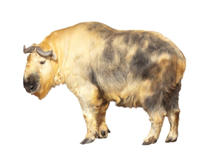 查出在扭角羚白色 免版税库存照片